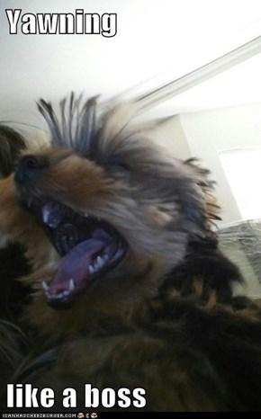 Yawning  like a boss