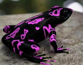 I Bet the Harlequin Toad Goes to Raves