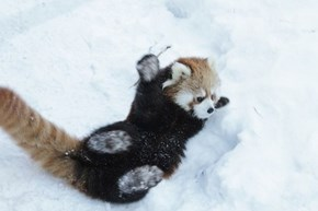 Red Panda Rolling in Snow