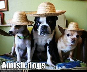 Amish dogs