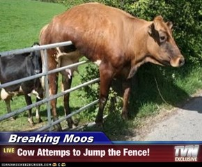 Breaking Moos - Cow Attemps to Jump the Fence!