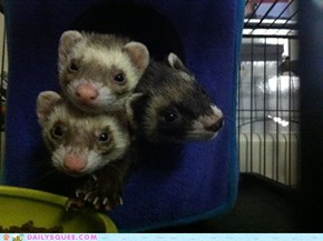 The Ferret's Cube