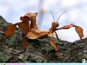 Australian Leaf Insect