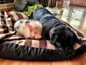 Interspecies Love: Pig and Pup