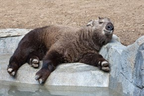Whatsit: Chubby Goat?