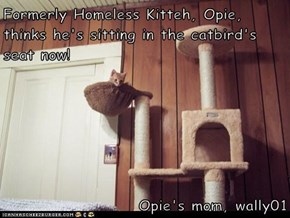 Formerly Homeless Kitteh, Opie, thinks he's sitting in the catbird's seat now!  Opie's mom, wally01