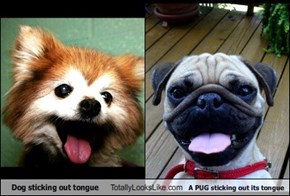 Dog sticking out tongue Totally Looks Like A PUG sticking out its tongue