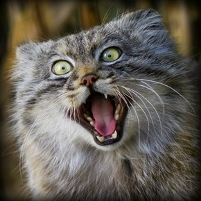 Crazy Pallas Cat