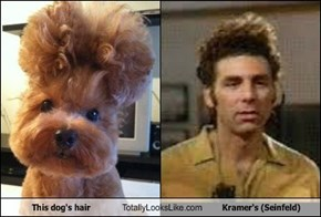 This dog's hair Totally Looks Like Kramer's (Seinfeld)