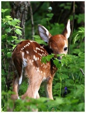 Shy Little Fawn