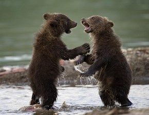 Mom!  Brother Bear Took my Salmon!