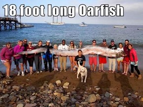 18 foot long Oarfish