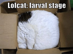 Lolcat: larval stage