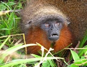 """New Species- Titi """"Purring"""" Monkey"""