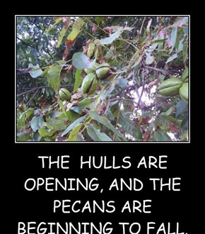 THE  HULLS ARE OPENING, AND THE PECANS ARE BEGINNING TO FALL.