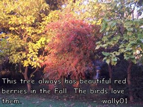 This tree always has beautiful red berries in the Fall. The birds love them.                         wally01