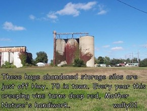 These huge abandoned storage silos are just off Hwy. 78 in town. Every year this creeping vine turns deep red, Mother Nature's handiwork.              wally01
