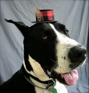 Big Dog in a Little Hat