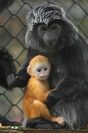 Javan Languar Baby