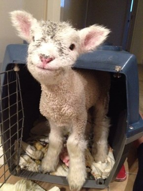 Smiling Little Lamb