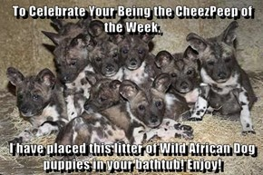 To Celebrate Your Being the CheezPeep of the Week,  I have placed this litter of Wild African Dog puppies in your bathtub! Enjoy!