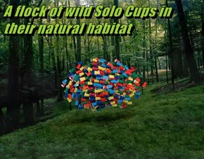 A flock of wild Solo Cups in their natural habitat