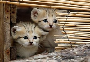 Two Baby Sand Cats Waiting for Mom