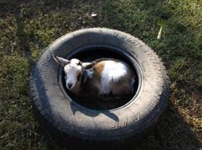 A tired little goat.