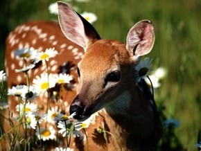 Doe in the Daises