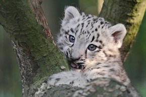 A Snow Leopard's First Tree Climb