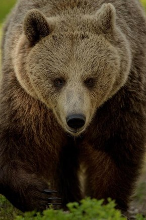 Brown Bear Beauty