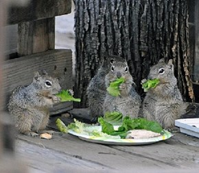 Squirrel Salad Bar