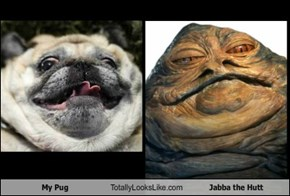 My Pug Totally Looks Like Jabba the Hutt