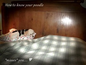 How to know your poodle      *misses* you.... ♥