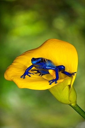 Beautiful Frog Looking Blue