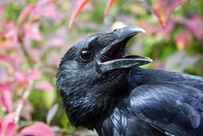 Crows Are Wicked Smart