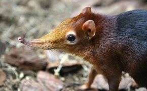 Long-Eared Elephant Shrew has a Squee Little Sniffer