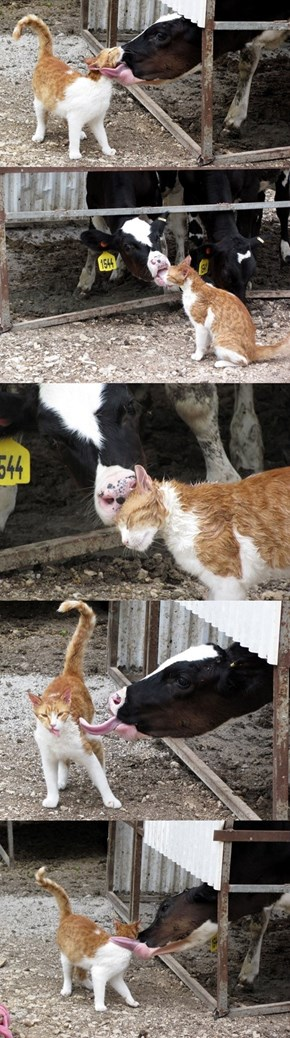 Cow and Cat Friendship