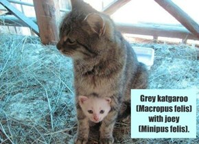 Grey katgaroo  (Macropus felis) with joey (Minipus felis).