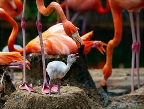 Flamingo Rearing