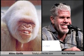 Albino Gorilla Totally Looks Like Ron Perlman
