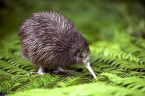 Cute Little Kiwi Bird