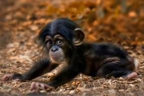 Baby Yoga Chimp