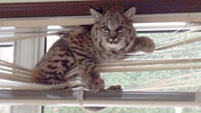 How to get a bobcat out of your window blinds