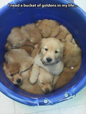 How About Just One Golden...Me!