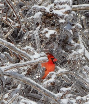 Cardinals Love the Icy Winter
