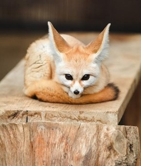 This Fennec Fox Will Melt Your Heart