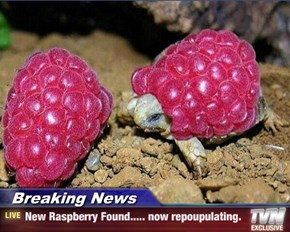 Breaking News - New Raspberry Found..... now repoupulating.