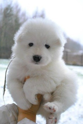 Cyoot Puppy ob teh Day: White Puffball