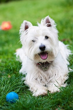 Goggie ob teh Week: Westies Win!